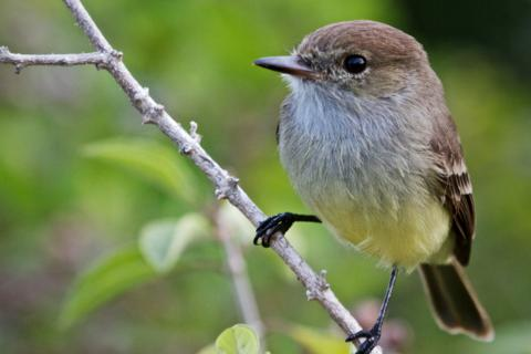 A Galapagos Flycatcher (Myiarchus magnirostris) Sits and Waits (Canon 7D with a 100-400mm lens at 400mm, f/8, 1/180, ISO 1600)