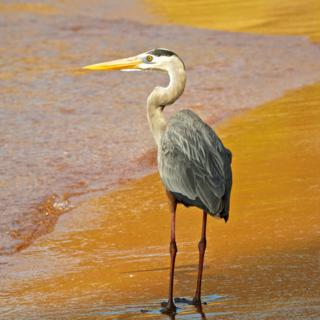 Not Even a Great Blue Heron (Ardea herodias) Showed Any Fear of Me as We Walked the Bartolome Beach Together (Canon 7D with 100-400mm lens at 160mm, f/8, 1/1500, ISO 800)
