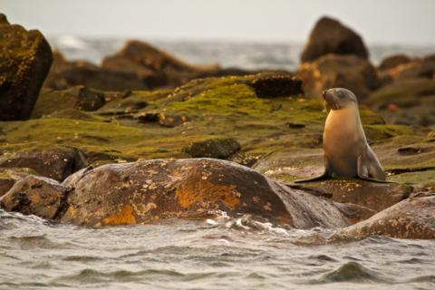 A Galapagos Sea Lion (Zalophus californianus) on the Mosquera Beach (Canon 7D with 100-400mm lens at f/8, 1/1000, ISO 1600)