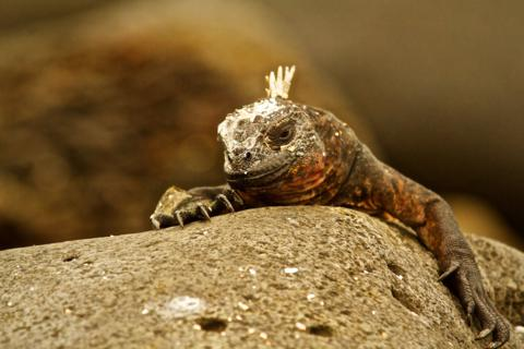 A Marine Iguana (Amblyrhynchus cristatus) Rests on Land (Canon 7D with 100-400mm lens at 400mm, f/8, 1/500, ISO 800)