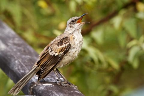 A Chatham (San Cristobal) Mockingbird (Nesomimus melanotis) Mocks (Canon 7D with 100-400mm lens at 400mm, f/8, 1/250, ISO 800)