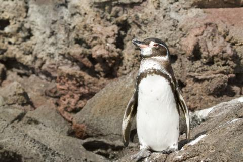 A Galapagos Penguin (Spheniscus mendiculus) Rests on Bartolome Island (Canon 7D with 100-400mm lens at 180mm, f/8, 1/1000, ISO 800)
