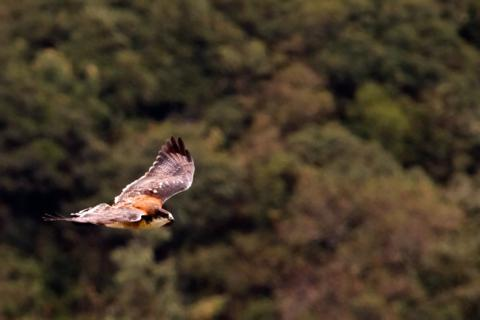 This Red-Backed Subspecies of the Variable Hawk (Buteo Polyosoma) Flies over Pululahua Crater (Canon 7D with 100-400mm lens at 400mm, f/8, 1/750, ISO 1600)