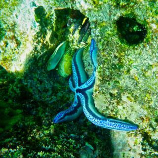 A Blue Sea Star (Phataria unifascialis) Offshore from Bartolome Island (Photo by Keith Costigan with my Panasonic DMC-TS3 at 5mm, f/3.3, 1/400, ISO 400)