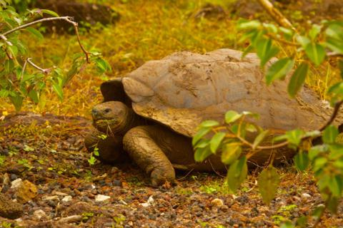 A San Cristobal Giant Tortoise (Geochelone elephantopus) Subspecies of the Galapagos Tortoise with a Saddleback Shell (Canon 7D with a 100-400mm lens at 250mm, f/8, 1/500, ISO 800)