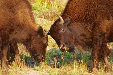 Two Young Bison Test their Horns (Canon 7D with 100-400mm lens at 400m, f/8, 1/750, ISO 800)