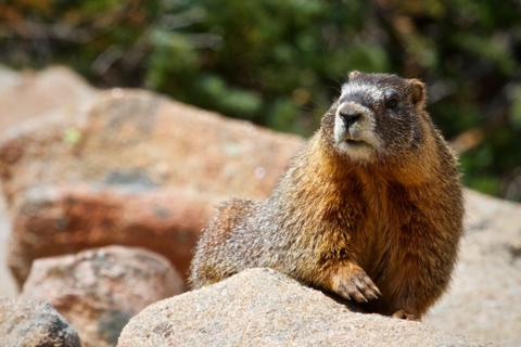 A Yellow-bellied Marmot (Marmota flaviventris) Comes Up to Check Us Out (Canon 7D with 100-400mm lens at 400mm, f/8, 1/1500, ISO 800)