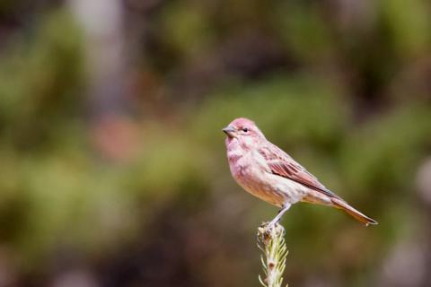 A Male Cassin's Finch (Carpodacus cassinii) in the Distance (Canon 7D with 100-400mm lens at 400mm, f/8, 1/500, ISO 800)