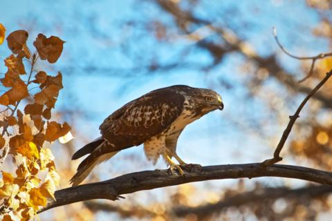 A Red-tailed Hawk (Buteo jamaicensis) Prepares to Attack (Canon 7D with 100-400mm lens at 400mm, f/8, 1/2000, ISO 800)