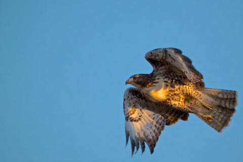 Last Light Illuminates a Red-tailed Hawk (Buteo jamaicensis) in Flight (Canon 7D with 100-400mm lens at 360mm, f/8, 1/1000, ISO 800)