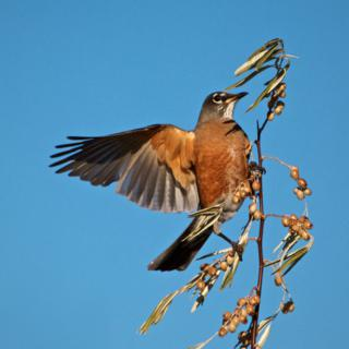 An American Robin (Turdus migratorius) Says It Likes Russian Olives (Canon 7D with 100-400mm lens at 400mm, f/8, 1/4000th, ISO 800)