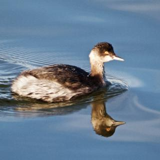 An Adult Non-Breeding Eared Grebe (Podiceps nigricollis) Swims in Still Waters (Canon 7D with 100-400mm lens at 400mm, f/8, 1/350th, ISO 800)