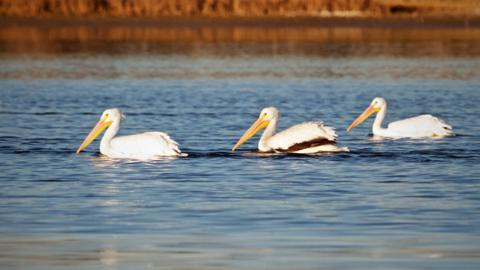 Three American White Pelicans (Pelecanus erythrorhynchos) Swim Together in McIntosh Lake (Canon 7D with 100-400mm lens at 400mm, f/8, 1/1000th, ISO 800)