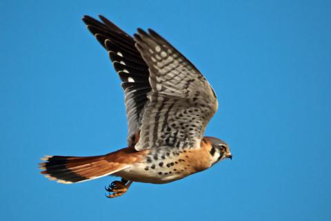 The American Kestrel (Falco sparverius) Flies Away (Canon 7D with 100-400mm lens at 270mm, f/8, 1/2000, ISO 400)