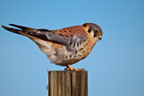 An American Kestrel (Falco sparverius) Perches on a Post (Canon 7D with 100-400mm lens at 320mm, f/8, 1/2000, ISO 400)