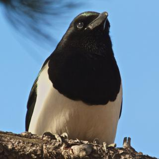 The Black-billed Magpie (Pica hudsonia) in Closeup Also Shows its Green (Canon 7D with 100-400mm lens at 380mm, f/8, 1/350, ISO 800)