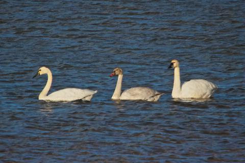 Two Adult Tundra Swans (Cygnus columbianus) and One Juvenile Rest on Baseline Reservoir (Canon 7D with 100-400mm lens and 1.4 teleconverter = equals 560mm, f/16, 1/500, ISO 800, -0.5ev)