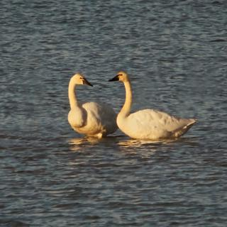 A Tundra Swan Couple Gaze into Each Other's Eyes (Canon 7D with 100-400mm lens and 1.4 teleconverter = equals 560mm, f/16, 1/500, ISO 800, -0.5ev)