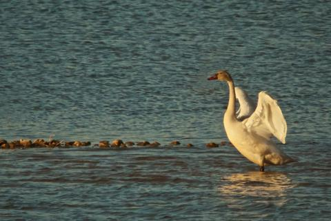 A Juvenile Tundra Swan Spreads its Wings in the Last Light of Day (Canon 7D with 100-400mm lens and 1.4 teleconverter = equals 560mm, f/16, 1/500, ISO 800, -0.5ev)