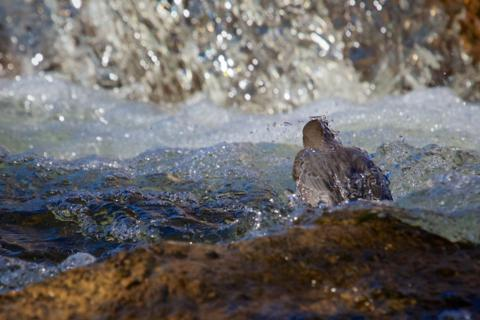 Into the Creek (Canon 7D with 100-400mm lens at 360mm, f/8, 1/1500, ISO 800, -05 ev)