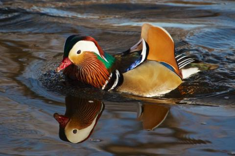 Reflected Mandarin (Canon 7D with 100-400mm lens at 400mm, f/8, 1/750, ISO 800, -0.5 EV)