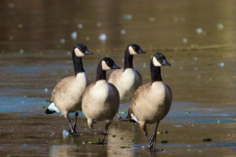True Goose-Stepping (Canon 7D with 100-400mm lens at 400mm, f/8, 1/1000th, ISO 400, -0.5 EV)