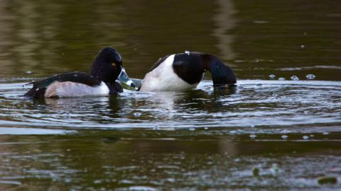 Ring-necked Ducks Don't Close Their Eyes Underwater (Canon 7D with 100-400mm lens at 400mm, f/8, 1/350th, ISO 800, -0.5 EV)