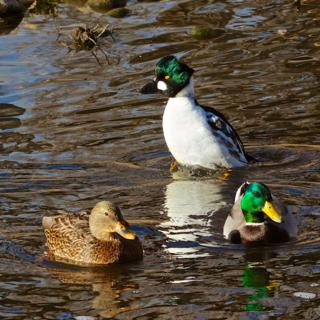 A Common Goldeneye Stands Behind a Pair of Mallards (Canon 7D with 100-400mm lens at 150mm, f/8, 1/500, ISO 800, -0.5 EV)