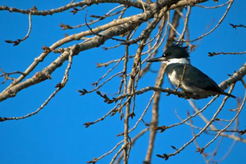 A Belted Kingfisher (Megaceryle alcyon) Stops Chattering for a Moment (Canon 7D with 100-400mm lens at 400mm, f/8, 1/3000, ISO 800, -0.5 EV)
