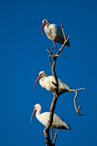 Stacked Ibis