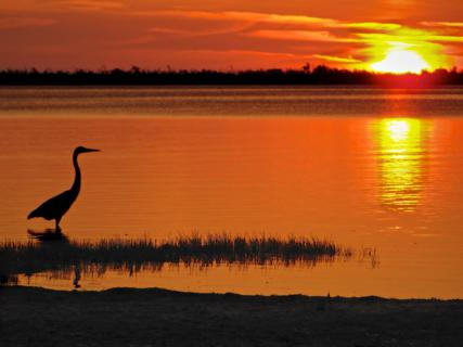 A Great Blue Heron (Ardea herodias) in Silhouette at Sunset