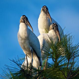 Three Wood Storks (Mycteria americana) Wake Up