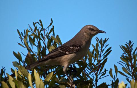 The Northern Mockingbird (Mimus polyglottos) is Florida's Official State Bird