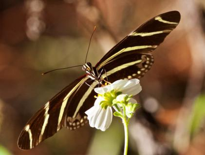 The Zebra Longwing, Florida's Official State Butterfly, on a Terrestrial Flower