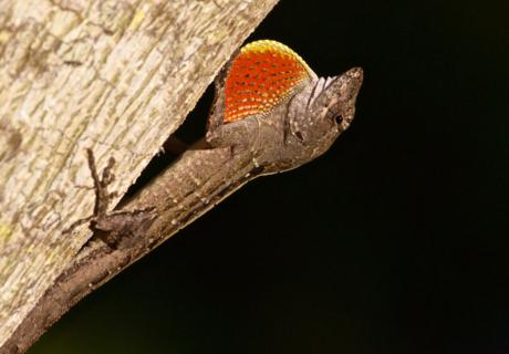 This Anole Lizard Inflates its Dewlap