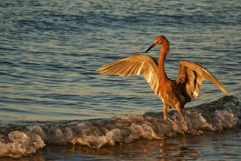 A Reddish Egret (Egretta rufescens) Spreads its Wings