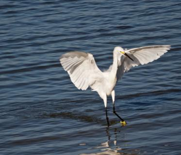 This Snowy Egret (Egretta thula) Seems to Dance