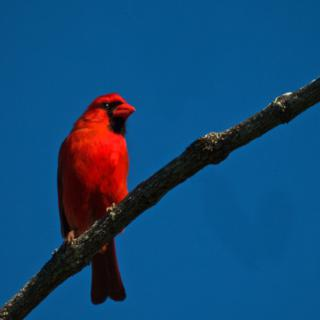 A Northern Cardinal (Cardinalis cardinalis) Sits Still for its Portrait