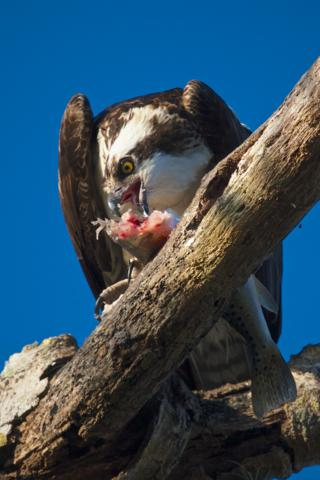 A Big Dinner for an Osprey (Pandion haliaetus)