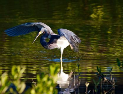 This Tricolored Heron (Egretta tricolor) Uses its Wings Like an Umbrella