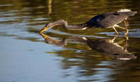 This Tricolored Heron (Egretta tricolor) Makes a Big Stretch