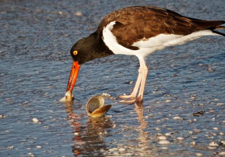 An American Oystercatcher (Haematopus palliatus) Gets a Clam