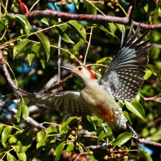 A Red-bellied Woodpecker (Melanerpes carolinus) Shows Its Red Belly