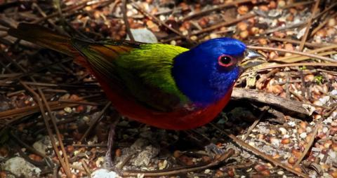 A Male Painted Bunting (Passerina ciris) is Blue, Red, Green and Brown