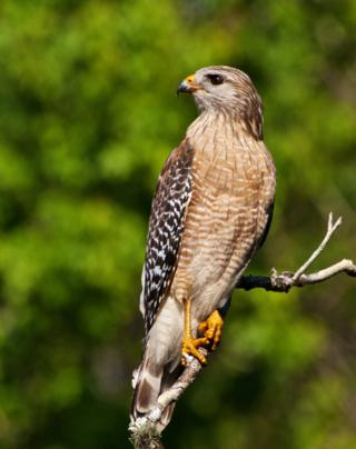 This Red-shoulder Hawk (Buteo lineatus) Looks Proud