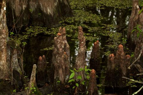 Cypress Knees Grow in Abundance at Six Mile Cypress Slough Preserve