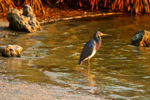 A Tricolored Heron (Egretta tricolor) Looks Out from its Cove onto Pine Island Sound