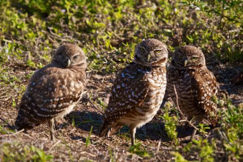 A Family of Burrowing Owls (Athene cunicularia)