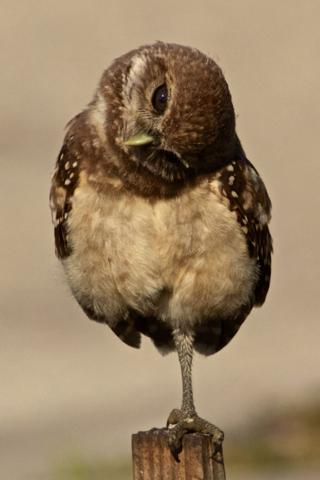 The Owlet Looks Sideways