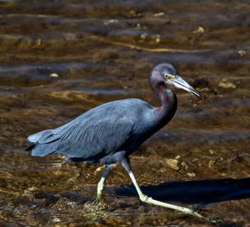 A Little Blue Heron (Egretta caerulea) Catches a Crustacean